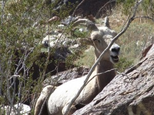 Sleepy Bighorn (Large)