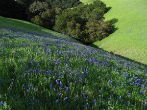 Lupine hillside (Large)