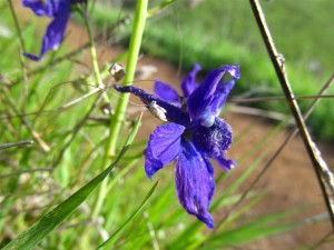 Purple Larkspur (Large)
