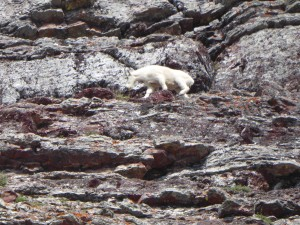 goat dislodging rocks