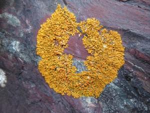 lichen on argolyte