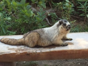 marmot from bob
